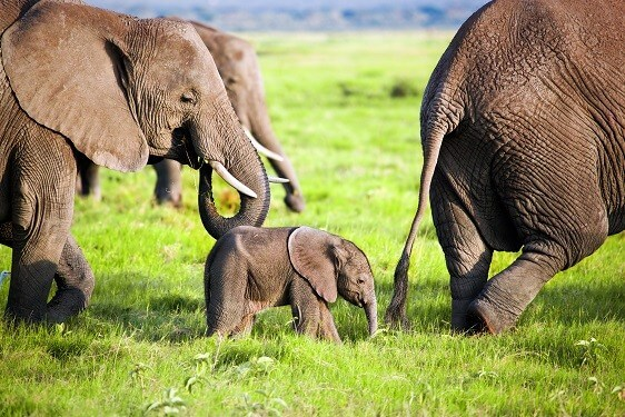 baby elephant with family herd