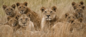Lions Africa