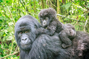 Baby Mountain Gorilla On The Back Of His Mother.