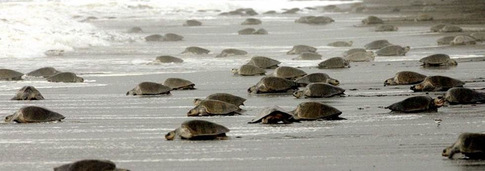 olive-ridley-see-turtle